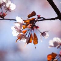 Sakura Blossoms mark the start of Green Season