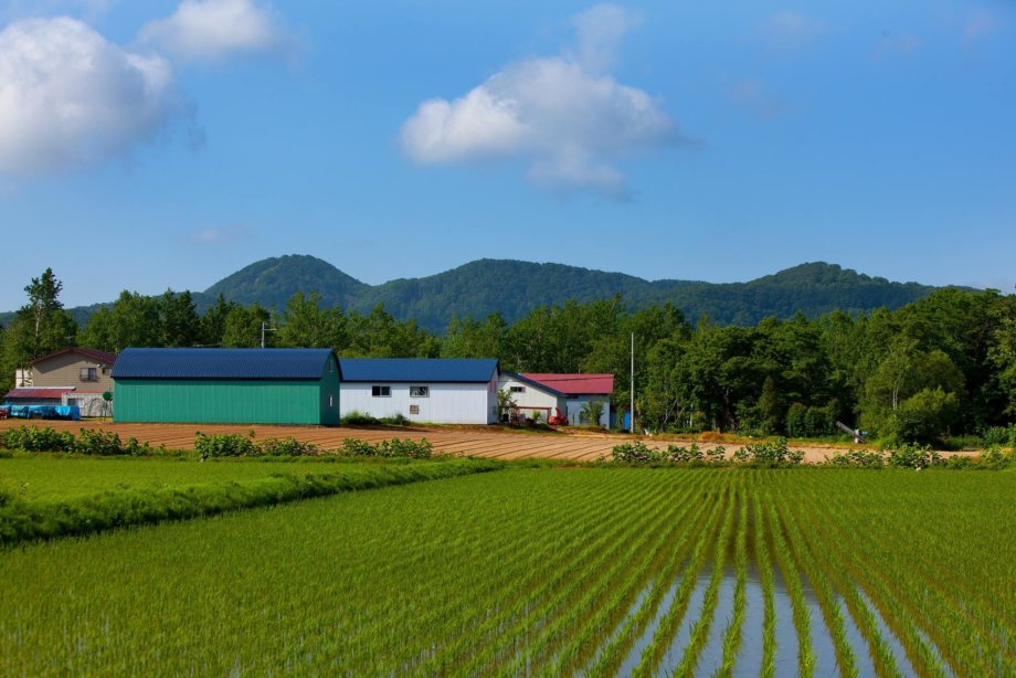 The ordered perfection of a Niseko rice paddy.